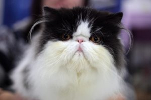 Munchkin Longhair Cat