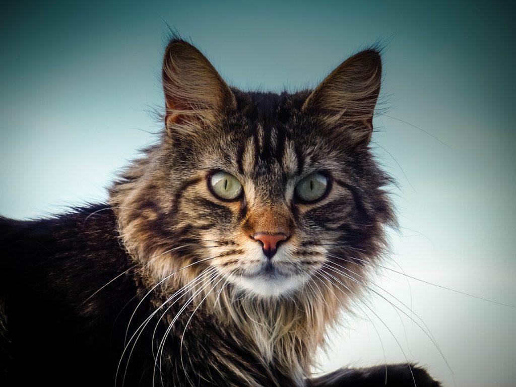 Munchkin Maine Coon Cat: A Good Idea?