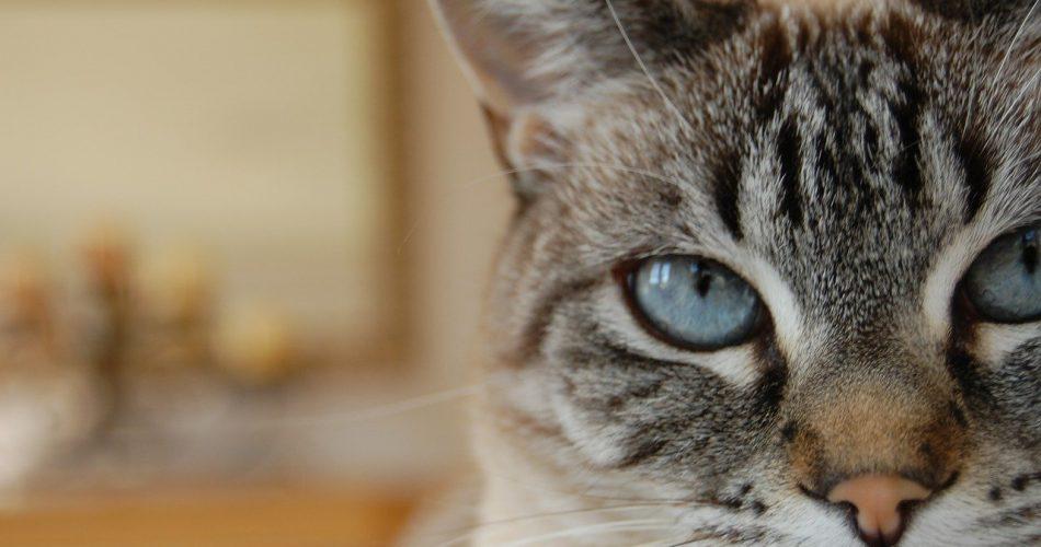 Siamese Lynx Point Cat