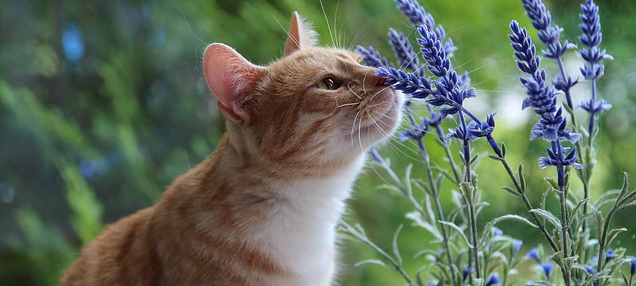 Cat and Lavender