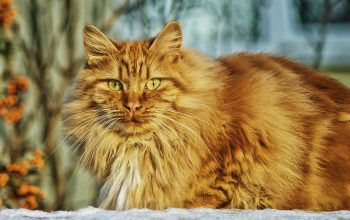 What Is the Size of a Norwegian Forest Cat?