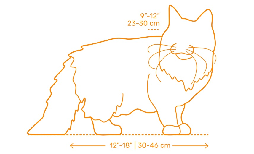 Size of a Norwegian Forest Cat