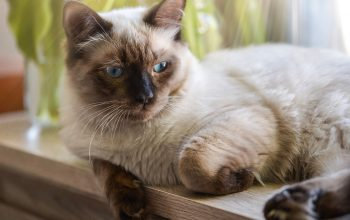 Fluffy and Floppy: Discover the Ragdoll Cat!
