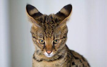 Savannah Cat Size: The Tallest Cat on Earth?