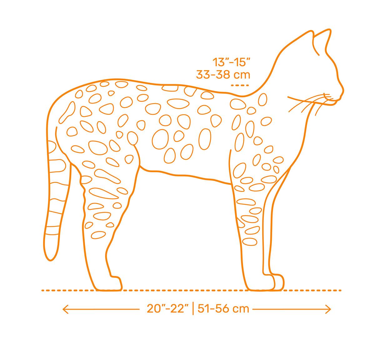 Savannah Cat Size