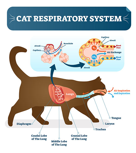 Heavy Breathing in Cats - Cat Respiratory System