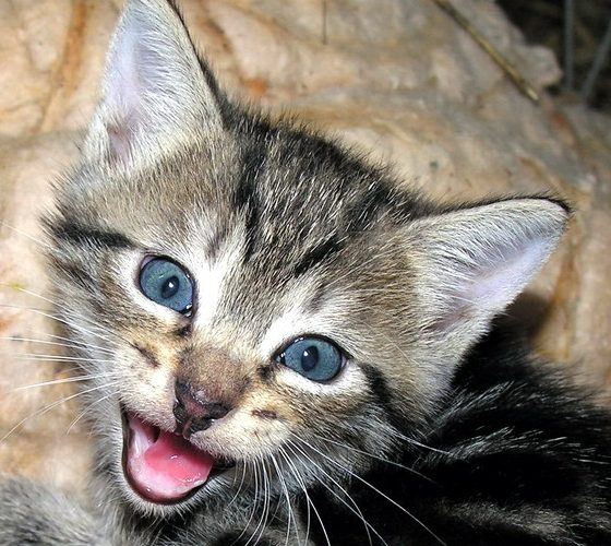 Kitty Meowing