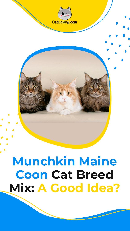 Munchkin Maine Coon
