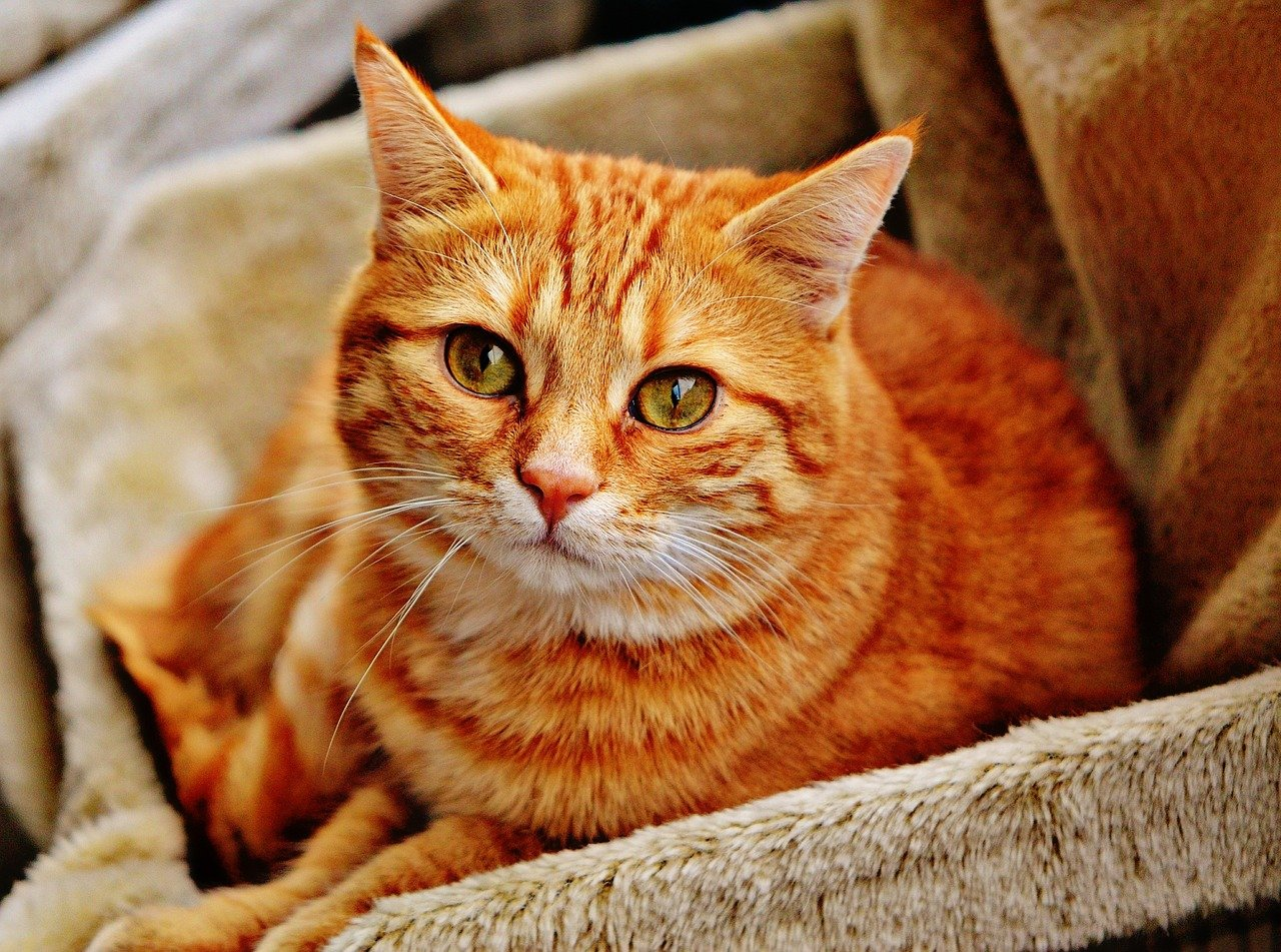Among the myths about cats, one says that all red cats are male