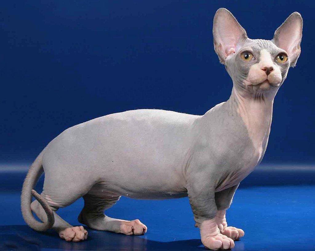 Bambino Cat