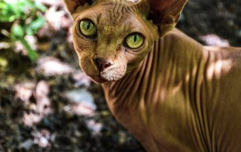 Hairless Cats: The Naked Truth About the Sphinx and Other Breeds