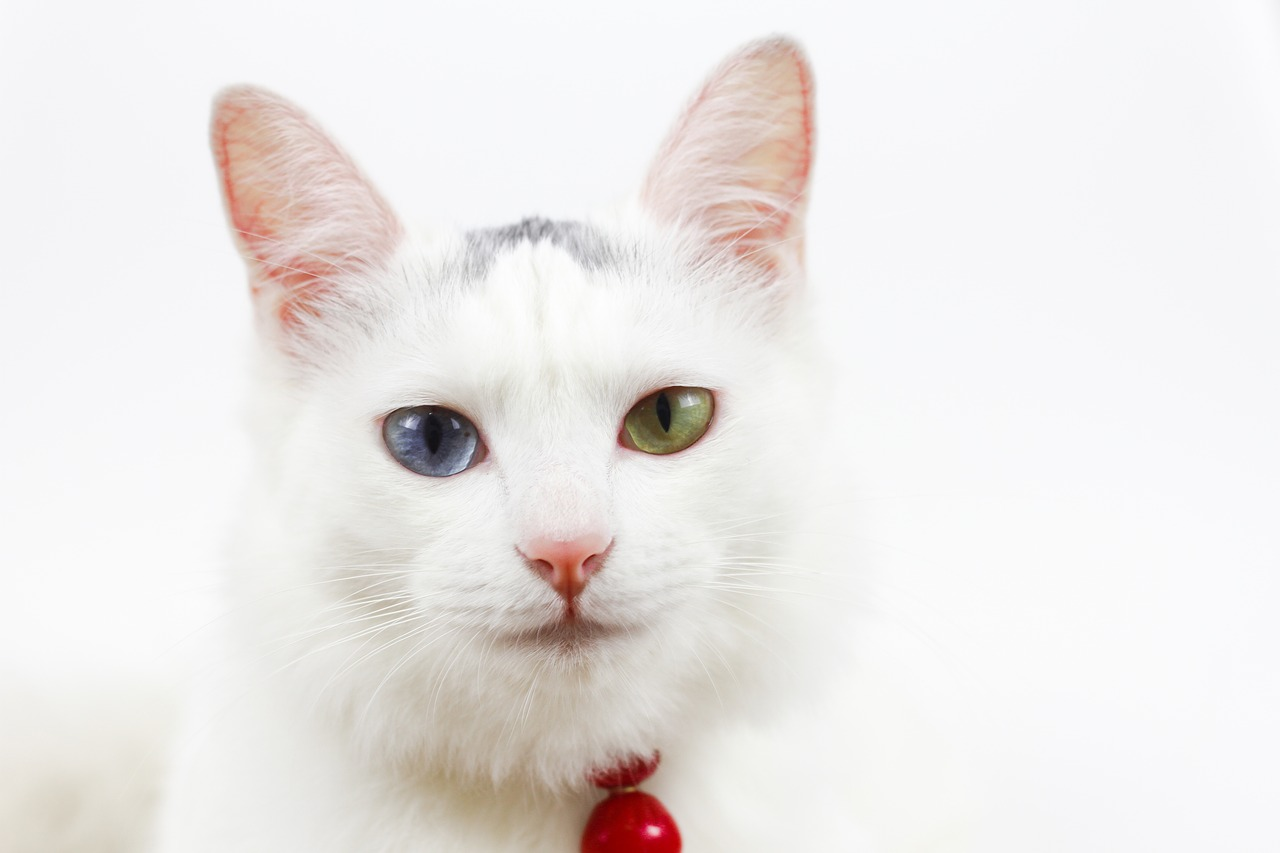 Cat with 2 Different Eye Colors - Cat's Eyes Meaning