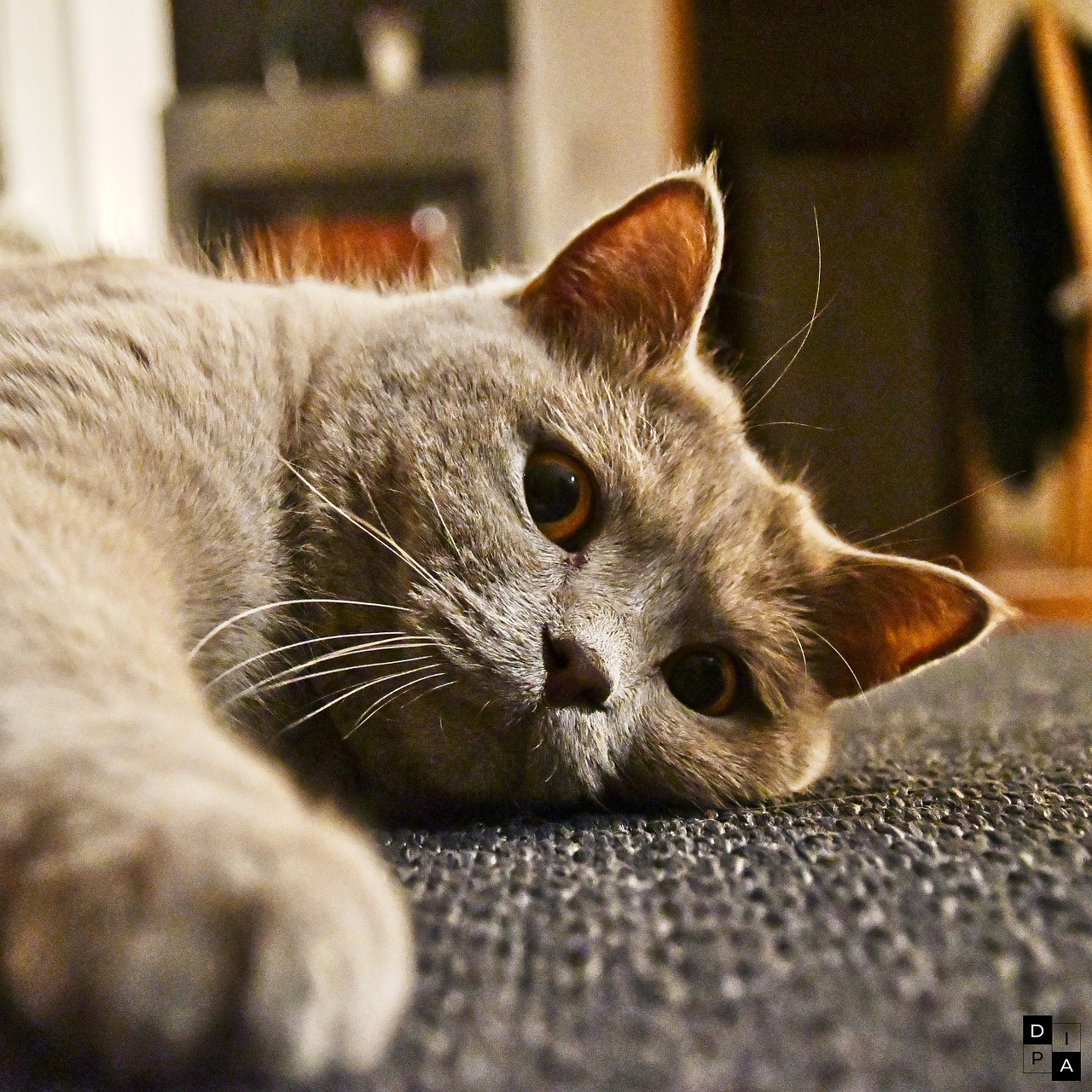 A diificulty to move around is one of the cat dying signs